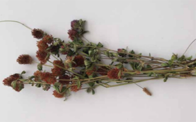 Plant Profile: Red Clover
